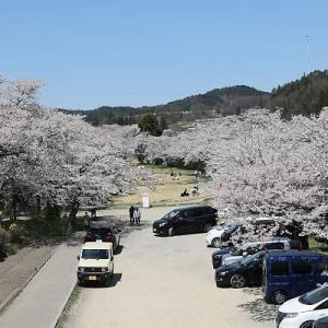 桜巡り 緑地公園