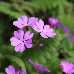庭の花 カタクリ