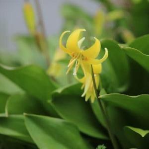 黄色カタクリの花