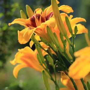 庭の花ヘメロカリス