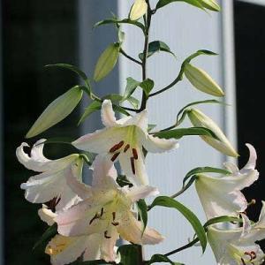 庭の花 ゆり