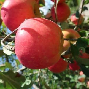 りんごと荏胡麻味噌