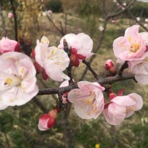 【あんずとアーモンドの花】🌸