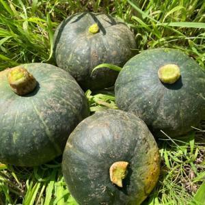 【ナルナル菌で育てたカボチャの収穫】🎃