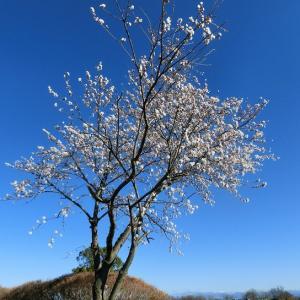 凛とした一本桜に感動