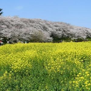 埼玉の人気「桜名所」を巡る