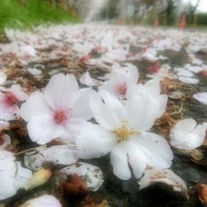 満開の桜、小雨に散る