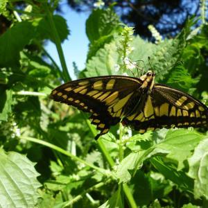 アゲハ蝶ーポルノグラフィティ