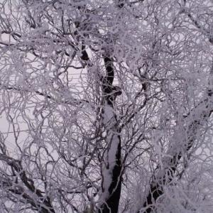雪舞ーふきのとう