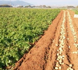 ジャガイモの収穫スタート