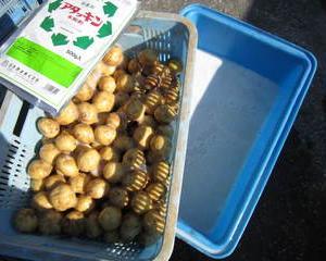 種芋の準備