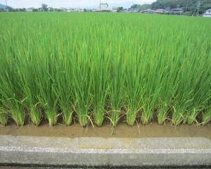 水稲新品種「なつほのか」