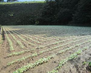蕎麦の発芽