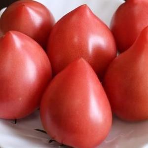 農福連携で幻のとトマト生産