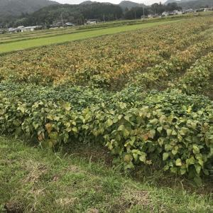 丹波篠山黒枝豆