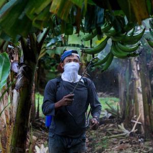 バナナ新パナマ病