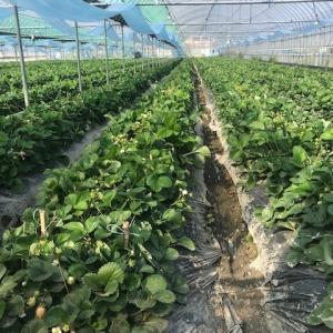 イチゴ土の温度を一定で高生産