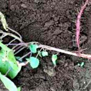 千葉県でもサツマイモ病気発生