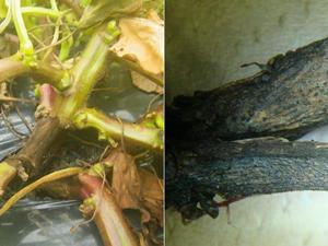 サツマイモ病気北海道へ