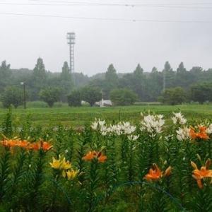 雨の あ・さ・ん・ぽ・・・♪