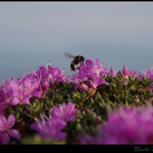 ミヤマキリシマの咲く北大船山へ