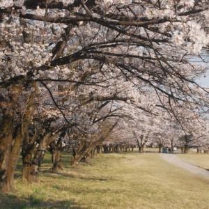 満開の時を迎えた自衛隊駐屯地の桜