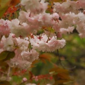 榛名湖畔は小梨(ズミ)の花盛り