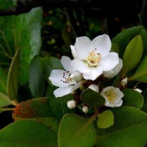 初夏の庭の花(2) シャリンバイ