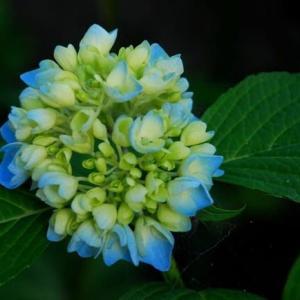 梅雨期の花と言えばアジサイと菖蒲かな!