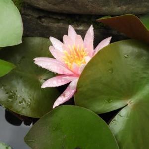 6月の庭の花(5)