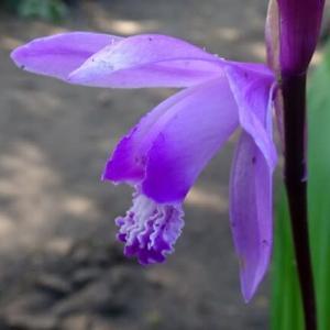 庭の花 紫蘭と都忘れ