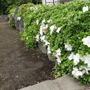 咲き始めた皐月の花と庭仕事