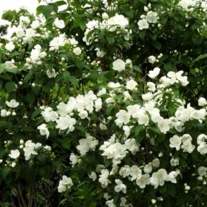 庭の花 「梅花ウツギ」「車輪梅」