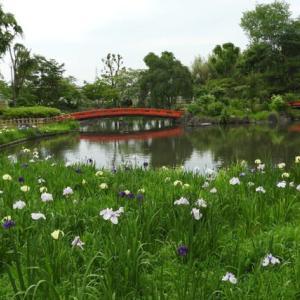 浜川公園の菖蒲
