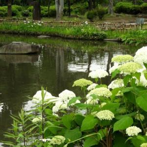 浜川公園のアジサイ