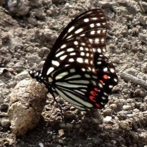 今日は蝶に縁が「アカボシゴマダラ・ホタルガ・ヒョウモン・」