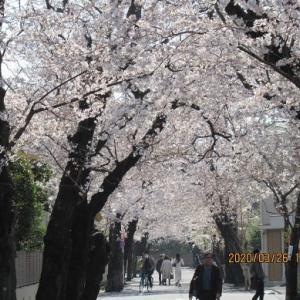 コロナ騒動どこ吹く風 … 見事に咲き誇る桜たち