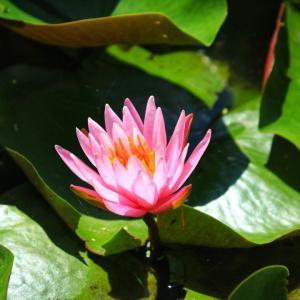 長居植物園の睡蓮