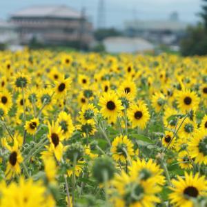 奈良馬見丘陵公園のひまわりがすごい❗️