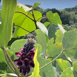 クズの花 花言葉は思慮深い        紅紫色をした蝶形の花をたくさんつけ花...