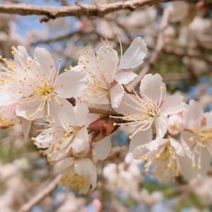 早咲き桜 花アプリでも名前分からず#桜