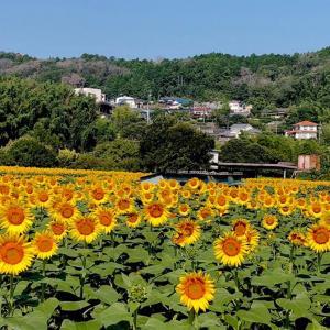 奈良のひまわり畑