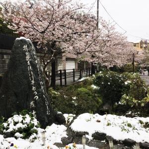 今日の桜(4) 雪と雪だるま@nerine coffee