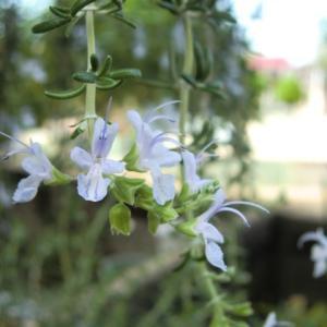 実家の庭  好きになった花。