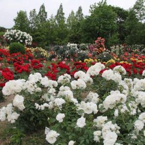庄境公園のバラ