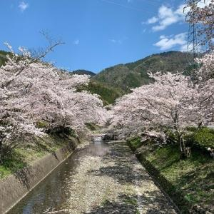 今日、来れてほんとによかった ~京都亀岡市七谷川沿いの桜たち~