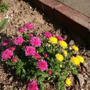 ツワブキの花まだかな~草取り頑張った一日