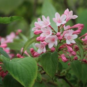 タニウツギ~立夏の花