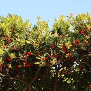 ヤマモモの街路樹