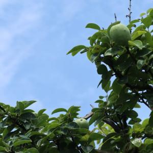 大きくなった花梨の実